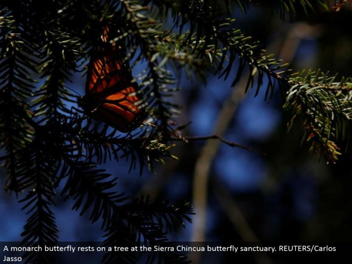 A ruler butterfly lays on a tree at the Sierra Chincua butterfly asylum. REUTERS/Carlos Jasso