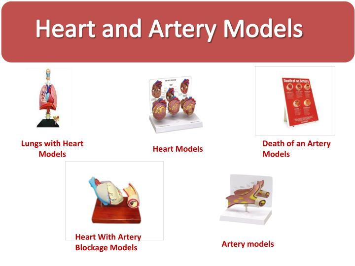 Heart and Artery Models