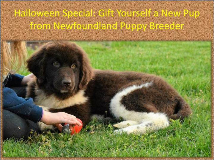 Halloween Special: Gift Yourself a New Pup from Newfoundland Puppy Breeder