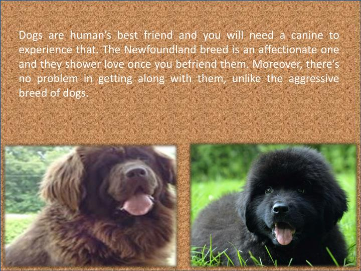 Dogs are human's best friend and you will need a canine to experience that. The Newfoundland breed is an affectionate one and they shower love once you befriend them. Moreover, there's no problem in getting along with them, unlike the aggressive breed of dogs.