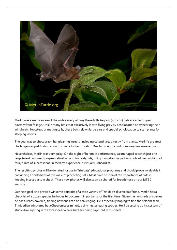 Merlin was already aware of the wide variety of prey these little 6-gram ( 0.21 oz) bats are able to...