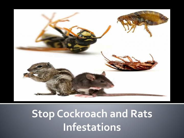 Stop Cockroach and Rats Infestations