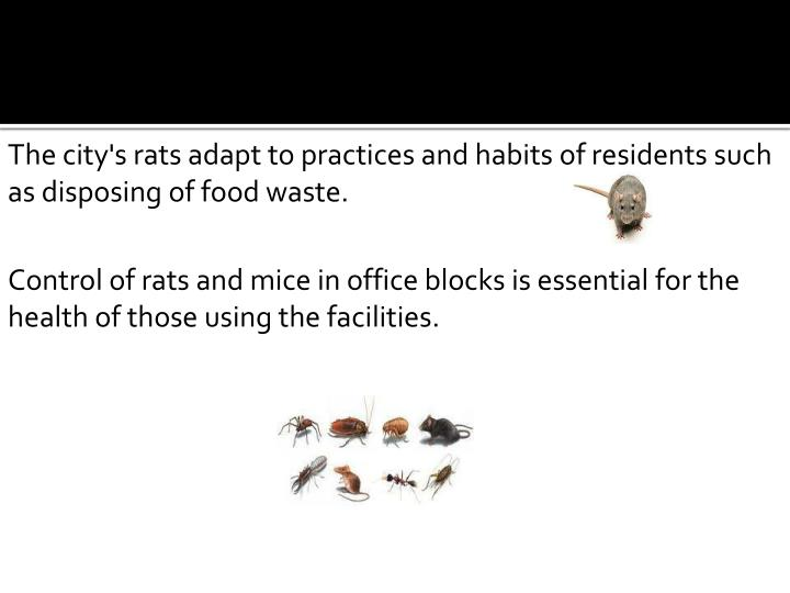 The city's rats adapt to practices and habits of residents such as disposing of food waste.