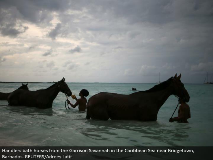 Handlers shower steeds from the Garrison Savannah in the Caribbean Sea close Bridgetown, Barbados. REUTERS/Adrees Latif