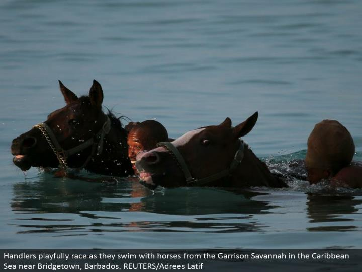 Handlers energetically race as they swim with steeds from the Garrison Savannah in the Caribbean Sea close Bridgetown, Barbados. REUTERS/Adrees Latif