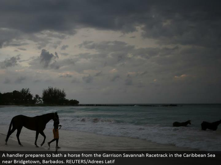 A handler gets ready to shower a steed from the Garrison Savannah Racetrack in the Caribbean Sea close Bridgetown, Barbados. REUTERS/Adrees Latif