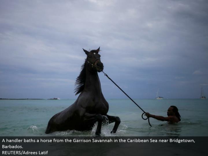 A handler showers a stallion from the Garrison Savannah in the Caribbean Sea close Bridgetown, Barbados.  REUTERS/Adrees Latif