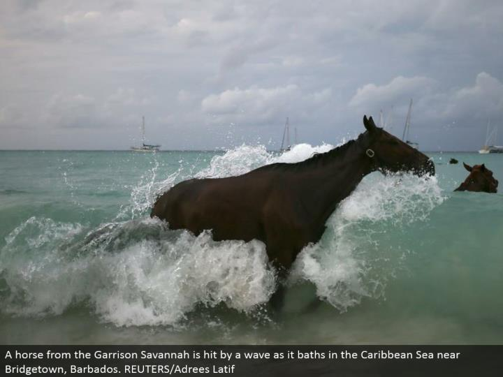 A horse from the Garrison Savannah is hit by a wave as it showers in the Caribbean Sea close Bridgetown, Barbados. REUTERS/Adrees Latif