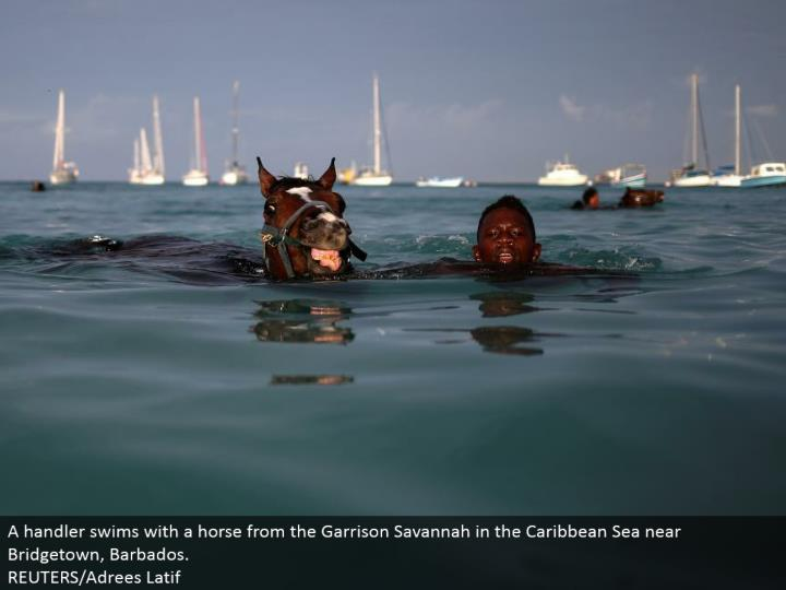 A handler swims with a stallion from the Garrison Savannah in the Caribbean Sea close Bridgetown, Barbados.  REUTERS/Adrees Latif