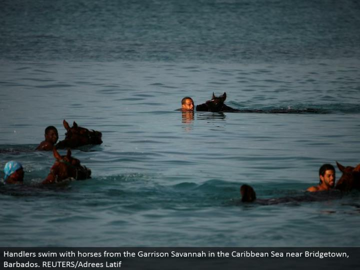 Handlers swim with stallions from the Garrison Savannah in the Caribbean Sea close Bridgetown, Barbados. REUTERS/Adrees Latif