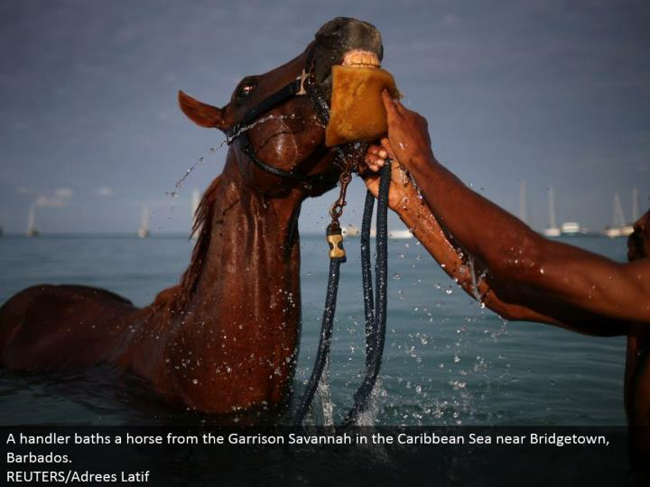 A handler showers a steed from the Garrison Savannah in the Caribbean Sea close Bridgetown, Barbados.  REUTERS/Adrees Latif