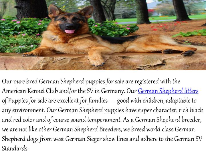 Our pure bred German Shepherd puppies for sale are registered with the
