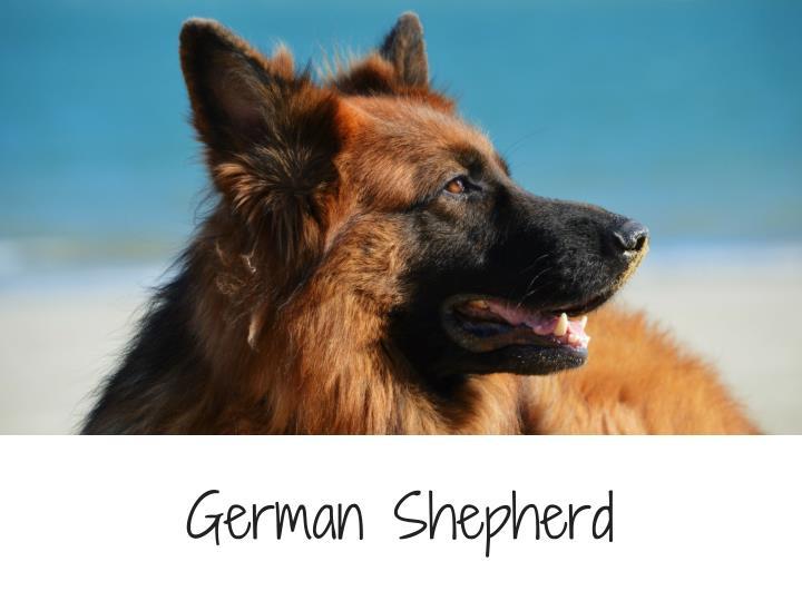 GermanShepherd