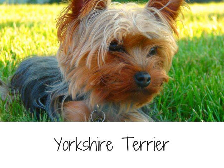 YorkshireTerrier