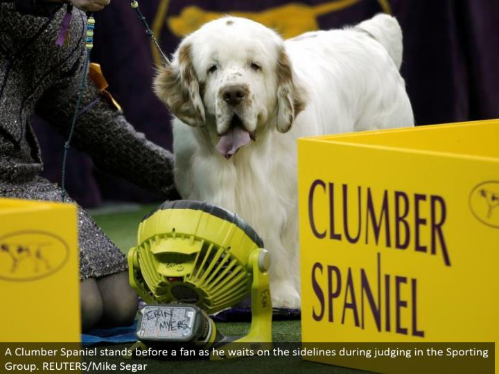 A Clumber Spaniel remains before a fan as he tends to the sidelines amid judging in the Sporting Group. REUTERS/Mike Segar