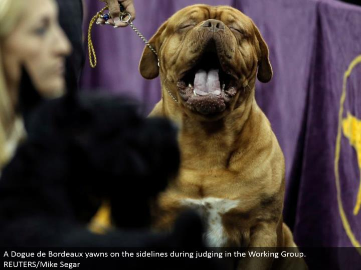 A Dogue de Bordeaux yawns on the sidelines amid judging in the Working Group. REUTERS/Mike Segar