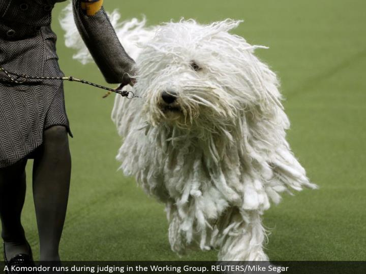 A Komondor keeps running amid judging in the Working Group. REUTERS/Mike Segar