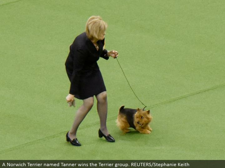 A Norwich Terrier named Tanner wins the Terrier gather. REUTERS/Stephanie Keith