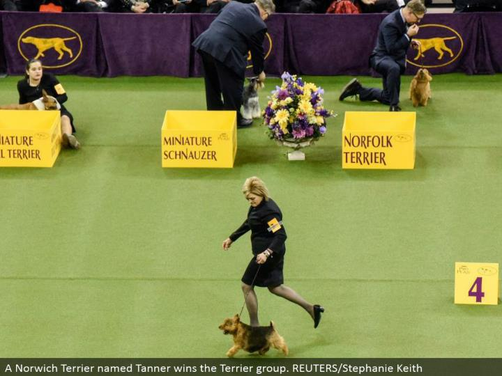 A Norwich Terrier named Tanner wins the Terrier assemble. REUTERS/Stephanie Keith