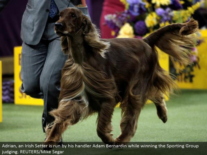 Adrian, an Irish Setter is controlled by his handler Adam Bernardin while winning the Sporting Group judging. REUTERS/Mike Segar