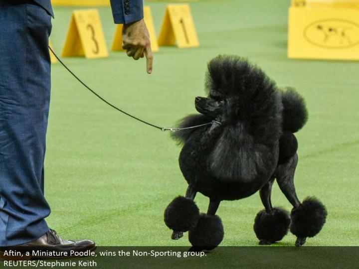 Aftin, a Miniature Poodle, wins the Non-Sporting gathering.  REUTERS/Stephanie Keith