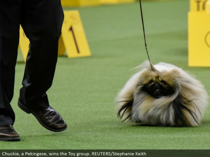 Chuckie, a Pekingese, wins the Toy aggregate. REUTERS/Stephanie Keith