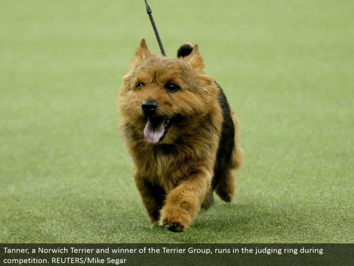 Tanner, a Norwich Terrier and victor of the Terrier Group, keeps running in the judging ring amid rivalry. REUTERS/Mike Segar