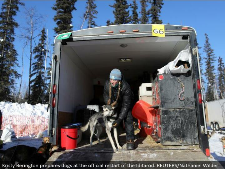Kristy Berington gets ready canines at the authority restart of the Iditarod. REUTERS/Nathaniel Wilder