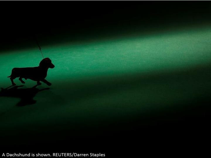 A Dachshund is appeared. REUTERS/Darren Staples