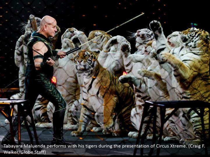 Tabayara Maluenda performs with his tigers during the presentation of Circus Xtreme. (Craig F. Walker/Globe Staff)