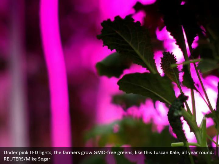 Under pink LED lights, the farmers grow GMO-free greens, like this Tuscan Kale, all year round. REUTERS/Mike Segar