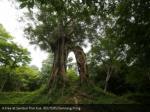 a tree at sambor prei kuk reuters samrang pring