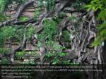 roots shroud a relief at sambor prei