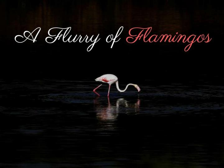 A flurry of flamingos
