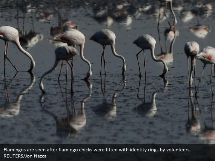 Flamingos are seen after flamingo chicks were fitted with identity rings by volunteers. REUTERS/Jon Nazca