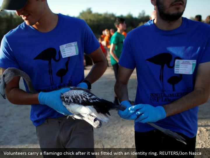 Volunteers carry a flamingo chick after it was fitted with an identity ring. REUTERS/Jon Nazca