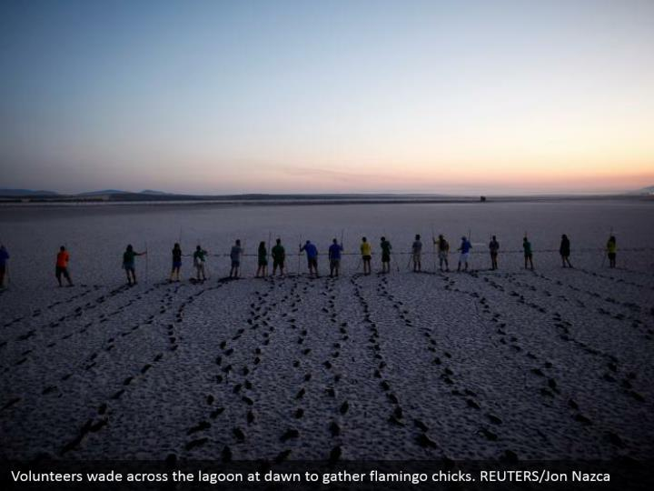 Volunteers wade across the lagoon at dawn to gather flamingo chicks. REUTERS/Jon Nazca