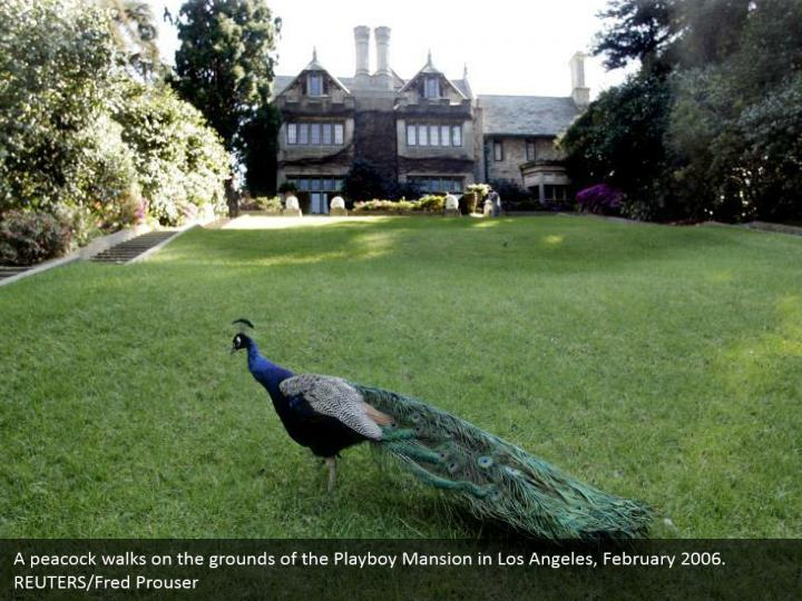 A peacock walks on the grounds of the Playboy Mansion in Los Angeles, February 2006.  REUTERS/Fred Prouser