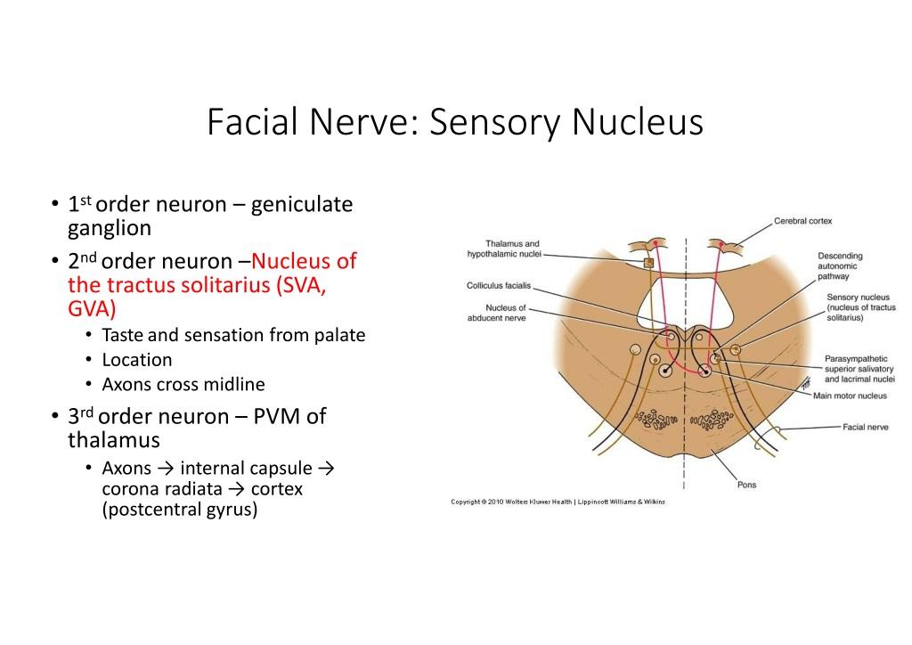 Lower motor neuron facial nerve