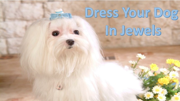 dress your dog in jewels n.