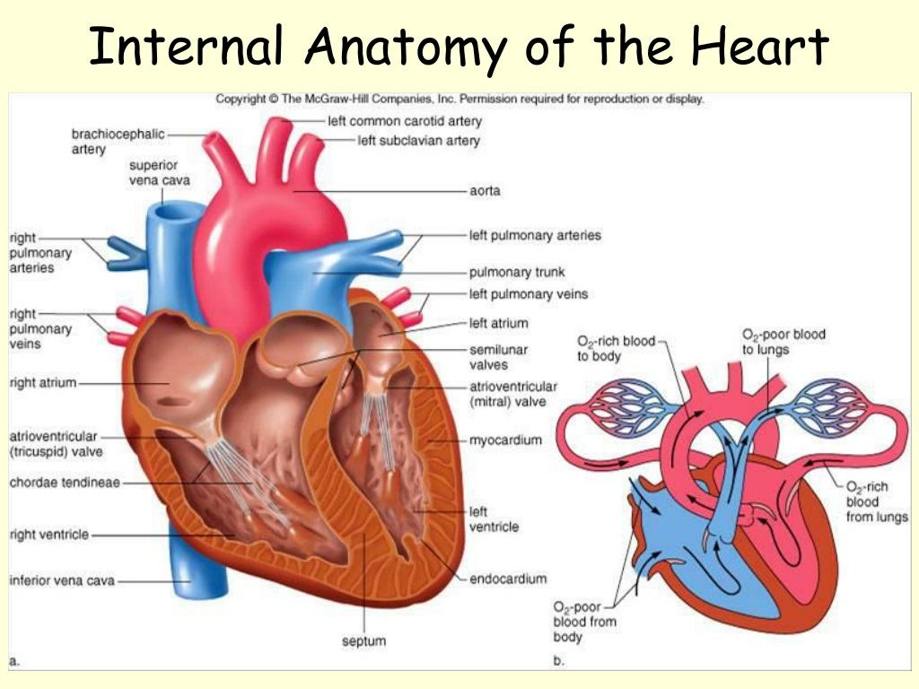 PPT - The Circulatory System PowerPoint Presentation, free ...