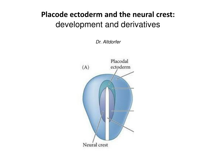 p lacode ectoderm and the neural crest n.