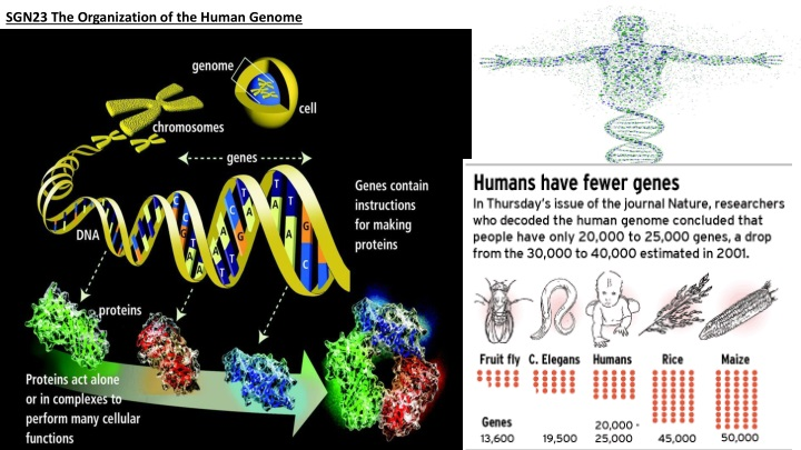 sgn23 the organization of the human genome n.