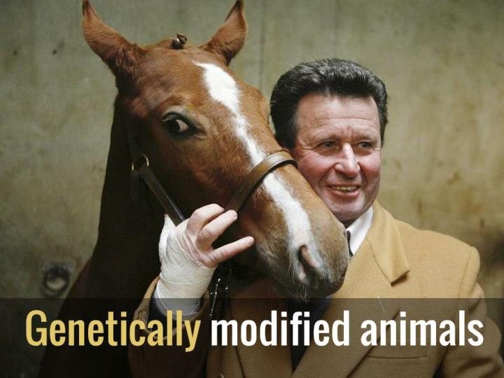 genetically modified animals n.