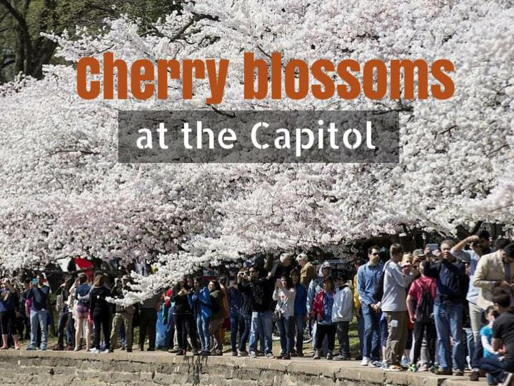 cherry blossoms at the capitol n.