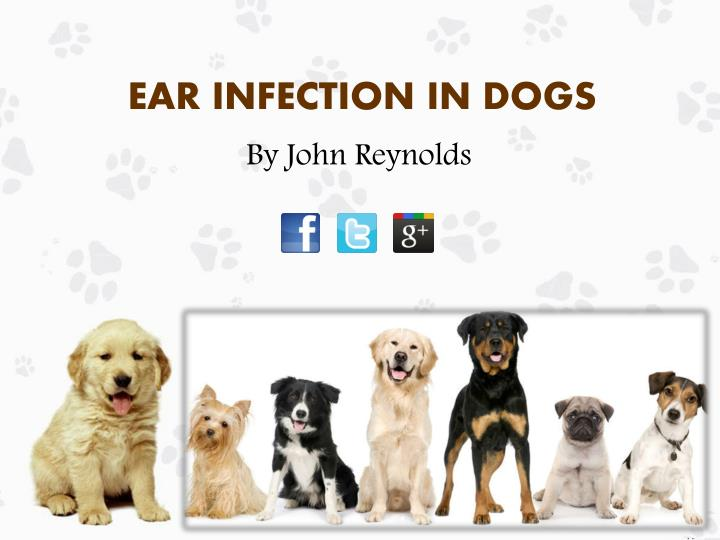 ear infection in dogs n.