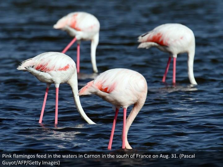 Pink flamingos feed in the waters in Carnon in the south of France on Aug. 31. (Pascal Guyot/AFP/Getty Images)