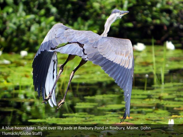 A blue heron takes flight over lily pads at Roxbury Pond in Roxbury, Maine. (John Tlumacki/Globe Staff)