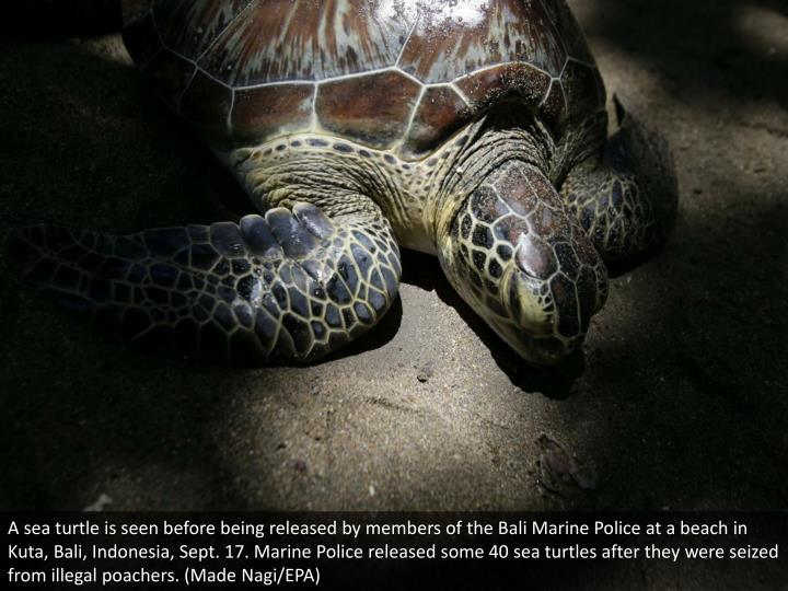 A sea turtle is seen before being released by members of the Bali Marine Police at a beach in Kuta, Bali, Indonesia, Sept. 17. Marine Police released some 40 sea turtles after they were seized from illegal poachers. (Made Nagi/EPA)