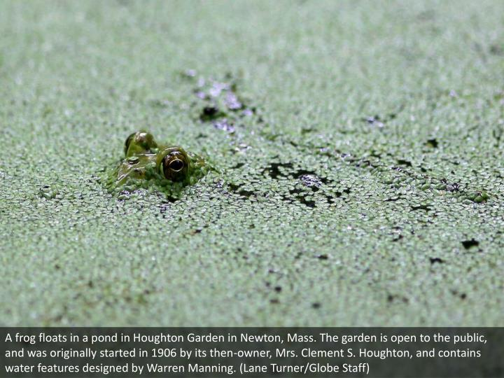 A frog floats in a pond in Houghton Garden in Newton, Mass. The garden is open to the public, and was originally started in 1906 by its then-owner, Mrs. Clement S. Houghton, and contains water features designed by Warren Manning. (Lane Turner/Globe Staff)